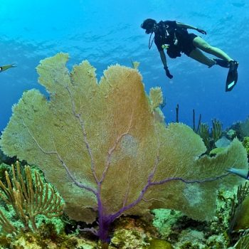 Gorgonia-ventalina-in-florida-350x350.jpg
