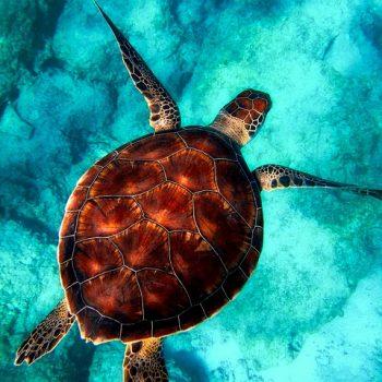 sea-turtule-key-florida-350x350.jpg
